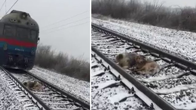 Injured pup protected from oncoming trains by canine friend