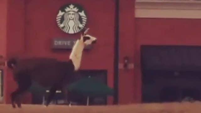 'He's going to Starbucks!' Llama runs wild in Georgia