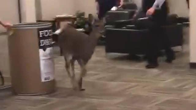 Deer runs wild through car dealership