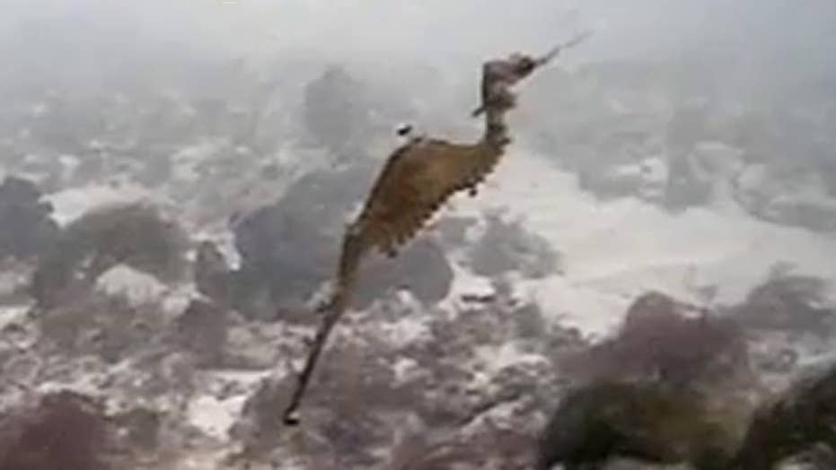 First-ever glimpse of ruby seadragon in the wild