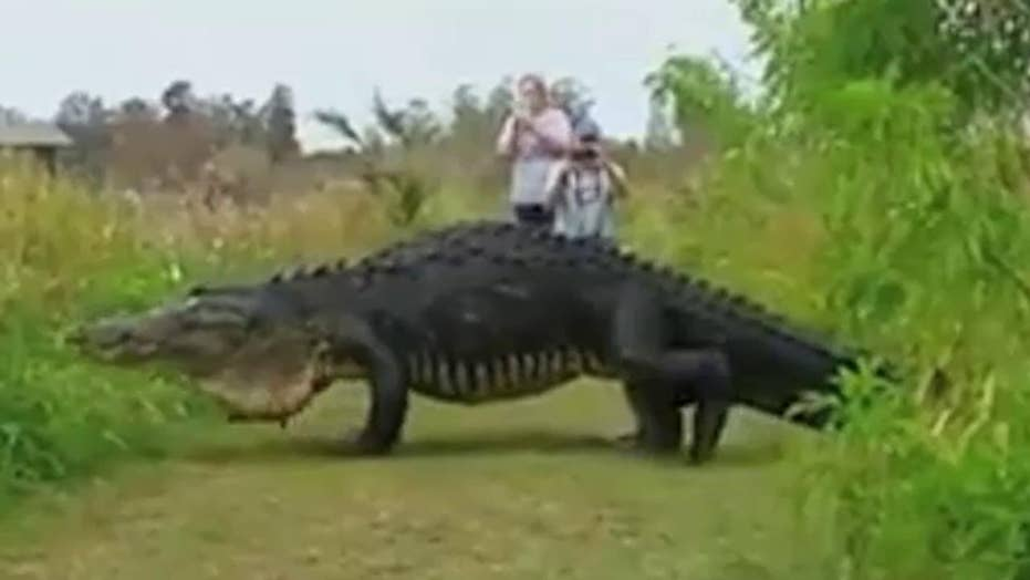 Massive gator slowly strolls past visitors at nature center