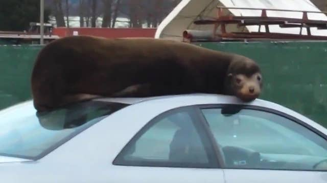 Super chill sea lion makes itself comfortable on car's roof