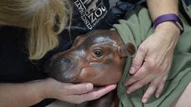 SHippopotamus