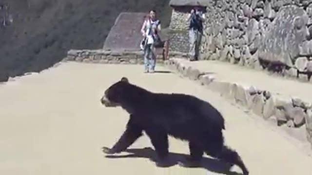 Bear runs wild in Machu Picchu