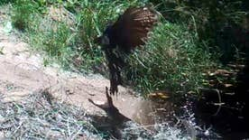 Raw video: Small crocodile leaps from water to attack pheasant which barely escapes becoming lunch at Garig Gunak Barlu National Park in Australia