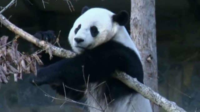 Bao Bao ready for new life in China