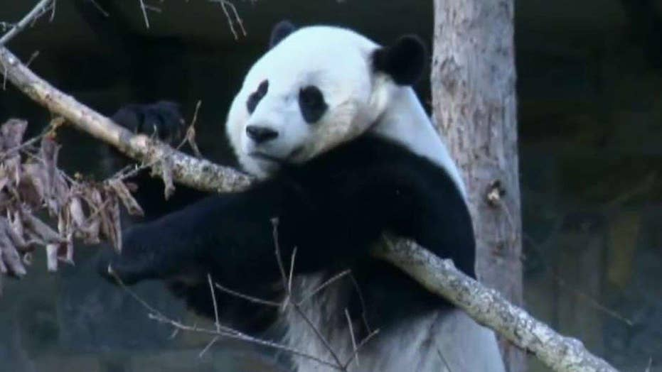 Bao Bao ready for new life in China