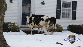 Two cows in Suffield, CT escaped from their pen. Local police apprehended the 'suspicious males' at the front door at a nearby house, warn residents not to open door to 'unfamiliar cattle' selling dairy products
