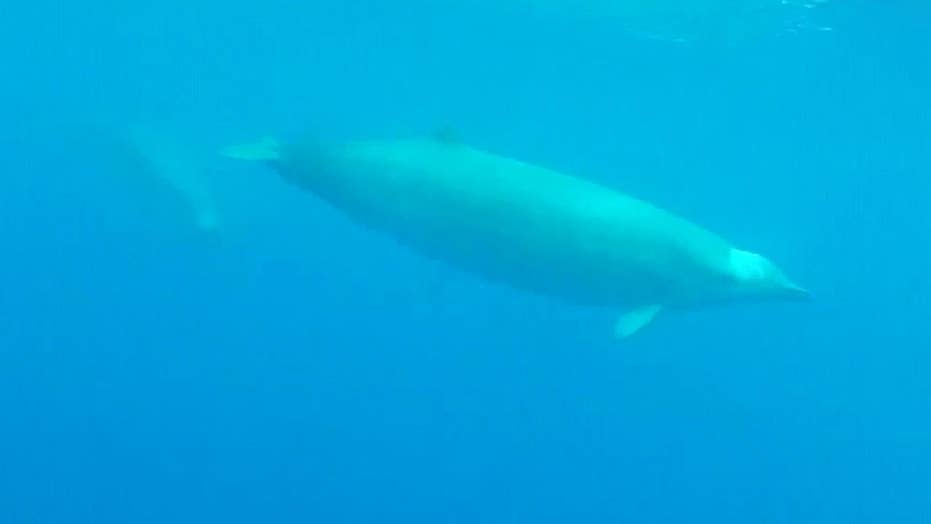 First-ever underwater video of elusive True's beaked whales