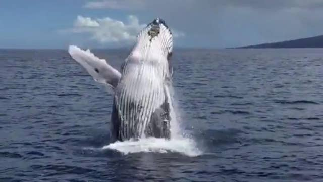 Whale's two spectacular breaches amaze cheering boaters