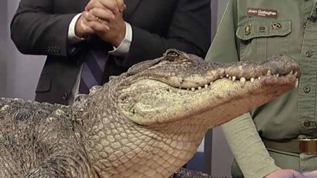 Exotic animals visit 'Fox & Friends'