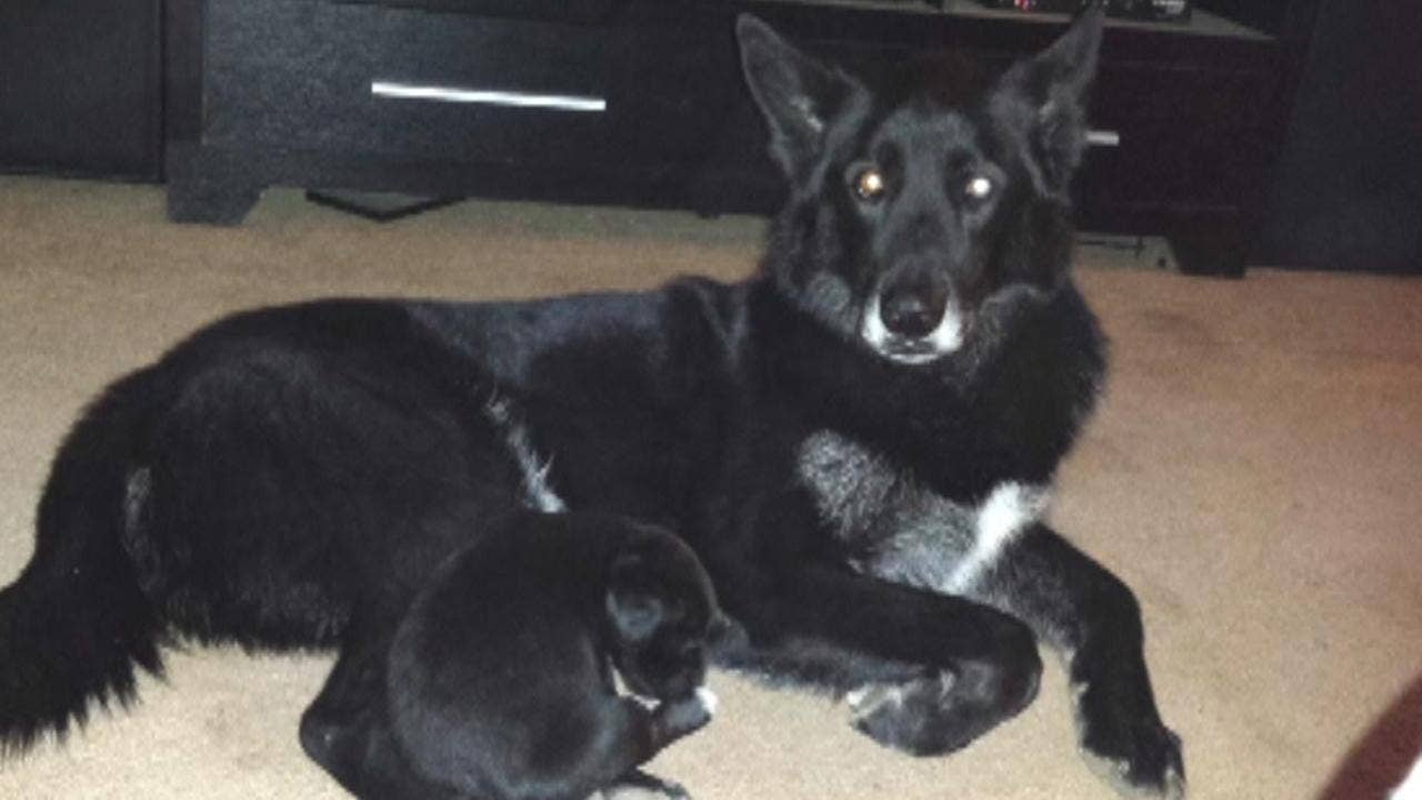 Mixers Mixers Vicking Vs Wolf ~ Animal control claims longtime family dog is wolf hybrid