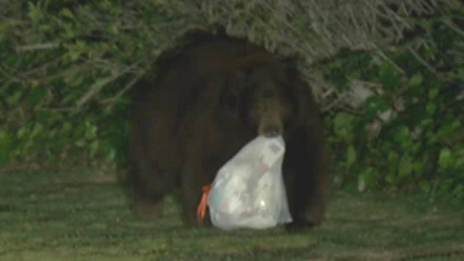 Hungry bear scavenges near LA after hibernation ends