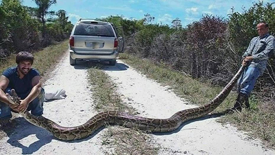 Trappers remove monster python from the Everglades