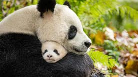 'Born in China' follows a snow leopard and her family, a panda and her cub and a group of golden monkeys