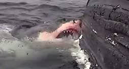 Raw video: Man says white shark who tore into well-known whale named Scarlett at so much she swam 'around aimlessly'