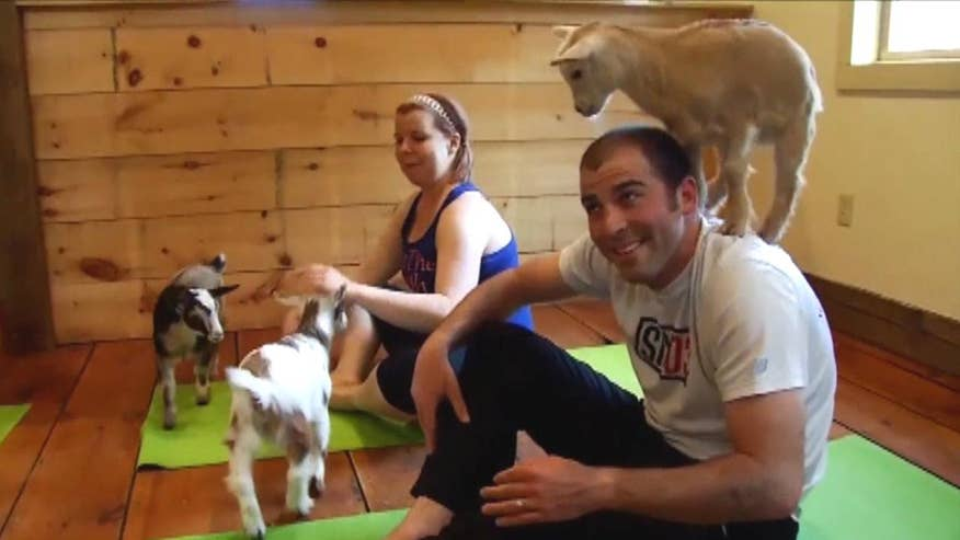 Freelance yoga instructor in Boulder uses animals to improve attendance