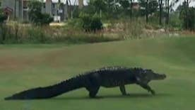 Gator wanders onto Florida golf course