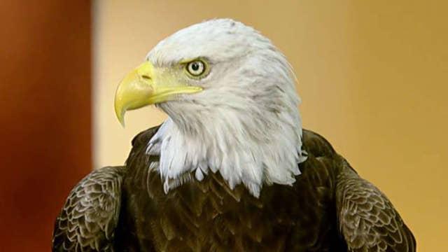 Challenger the bald eagle visits 'Fox & Friends'