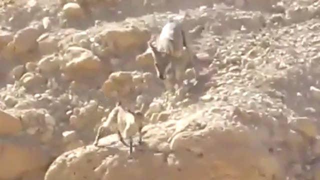 Dramatic desert chase: Wolf vs. goat