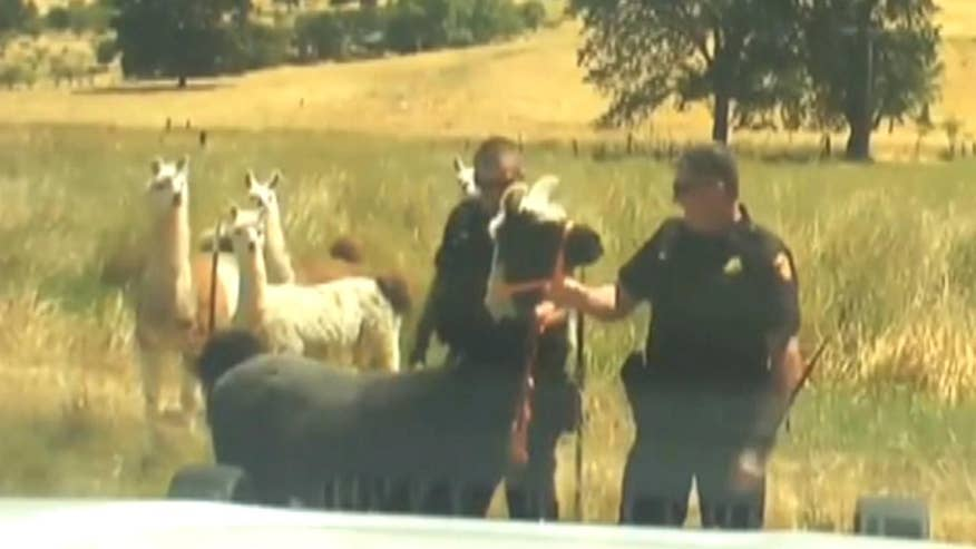 Raw video: Solano County deputies chase down escaped animal in California before returning it to pasture