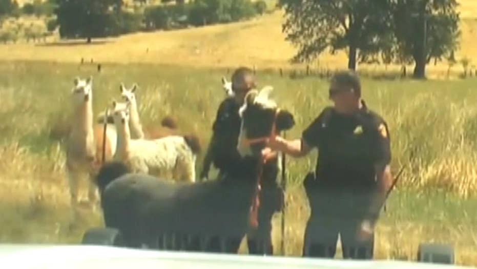 Llama on the loose wrangled by cops