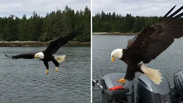Raw video: Stunning footage of bird stealing Canadian fisherman's catch goes viral