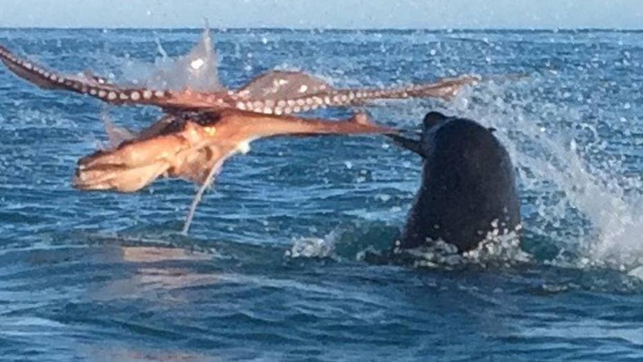 Octopus and giant seal battle to the death