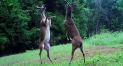 Raw video: Animals spar in surprising footage caught in Hardeman County, Tennessee