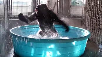 Raw video: Primate beats the heat at Dallas Zoo