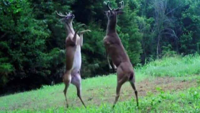 Bucks go hoof-to-hoof: Trail camera catches epic fight
