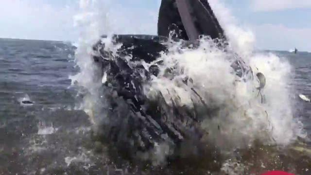 Huge humpback surfaces next to boat, tosses fish into craft
