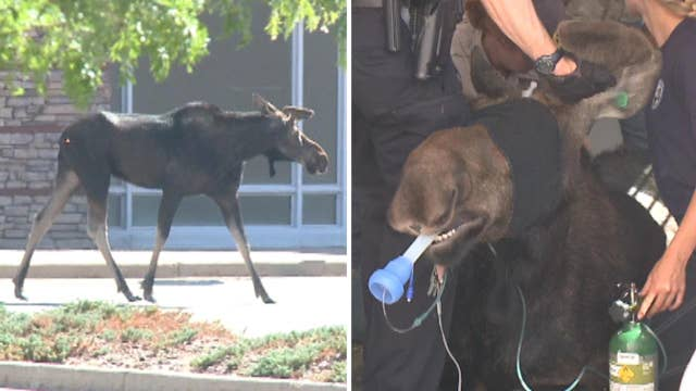 Moose wandering around mall for hours finally tranquilized