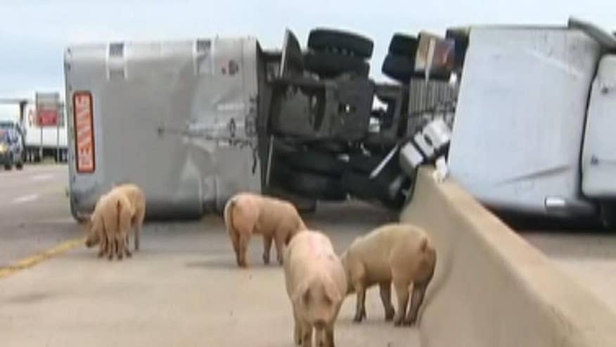 Raw video: Pigs loose on I-45 in Texas, shutting down highway in both directions
