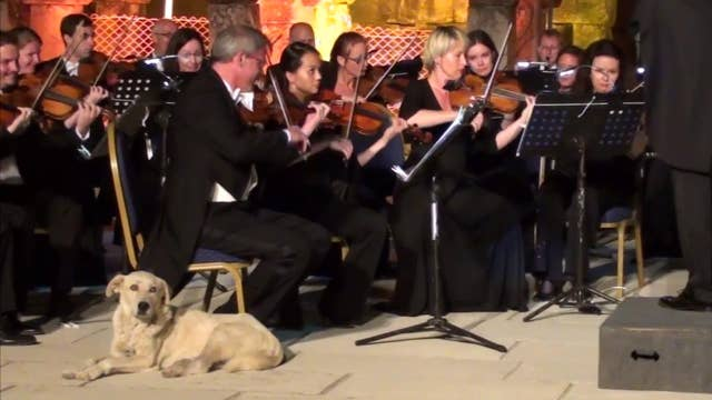 Stray dog crashes orchestra performance, steals the show