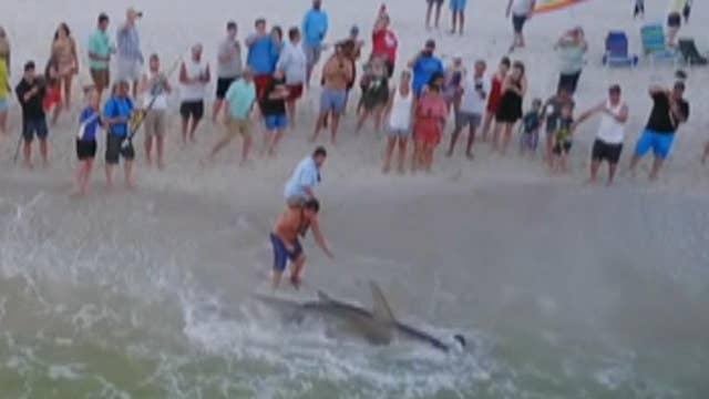 Florida fisherman reels in hammerhead shark