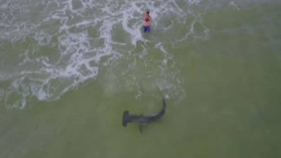 A drone operator captured the moment when a fisherman caught a hammerhead shark off the shoreline of Panama City Beach, Florida. Watch the incredible video