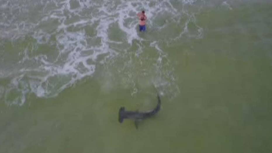 Massive hammerhead shark reeled in on Florida beach