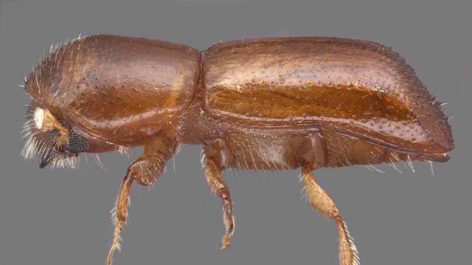 Beetle threatens Florida avocado industry