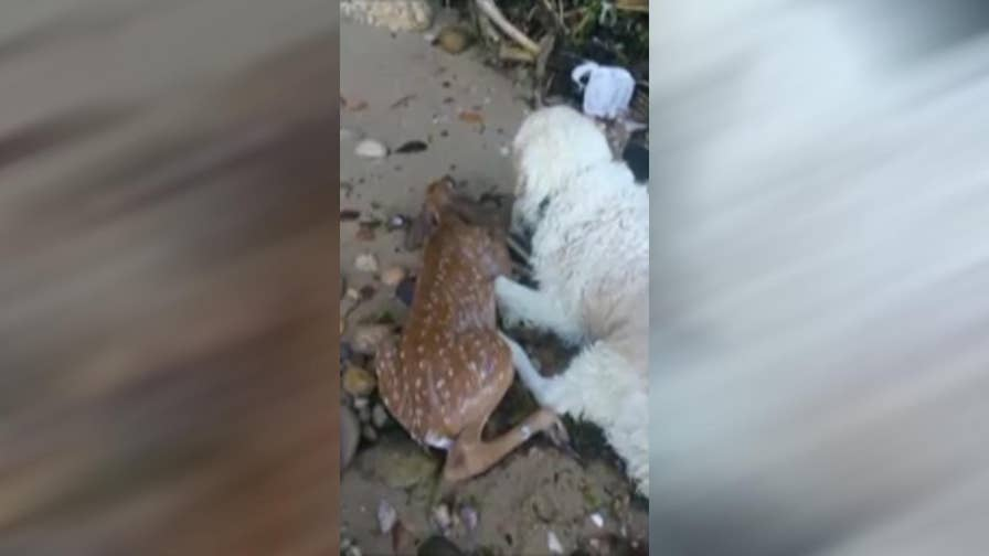 Raw video: Suffolk County dog makes headlines he pulled baby deer from Port Jefferson Harbor in Long Island