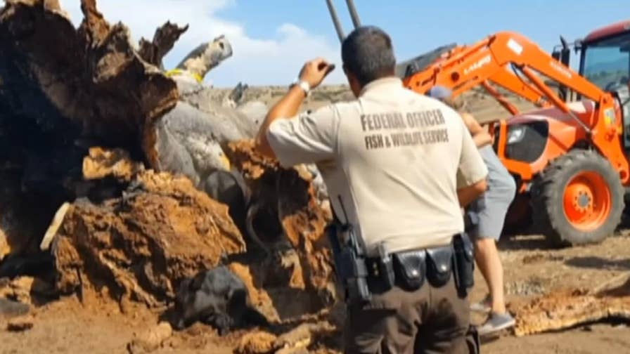 Raw video: Bulldozer lifts tree of trapped bovine in San Diego County