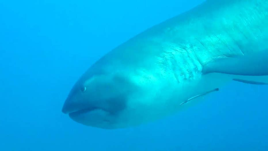 Diver has encounter with extremely rare megamouth shark