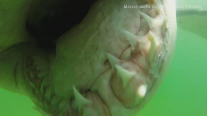 Great white shark chomps underwater camera