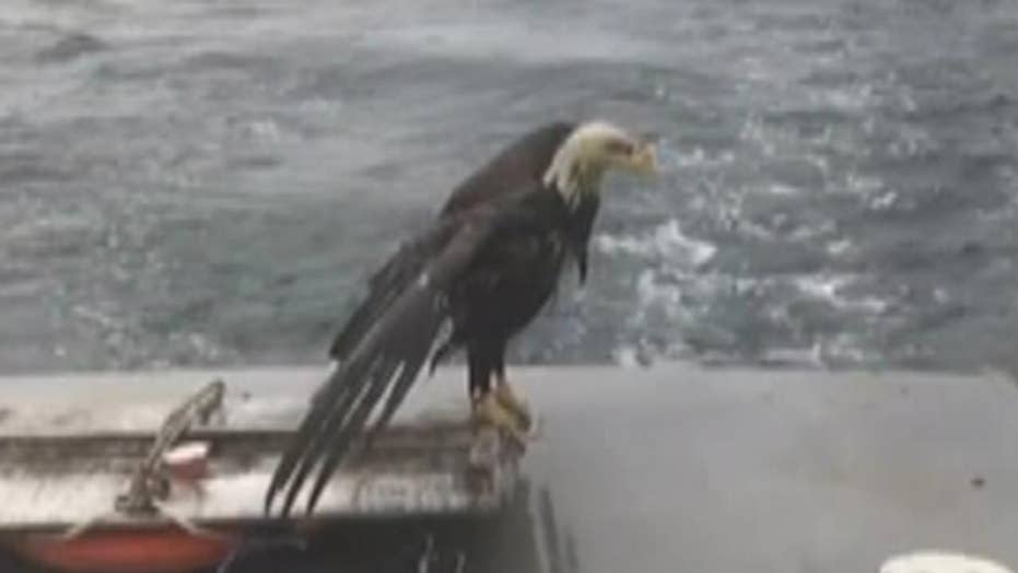 Maine lobstermen rescue drowning bald eagle