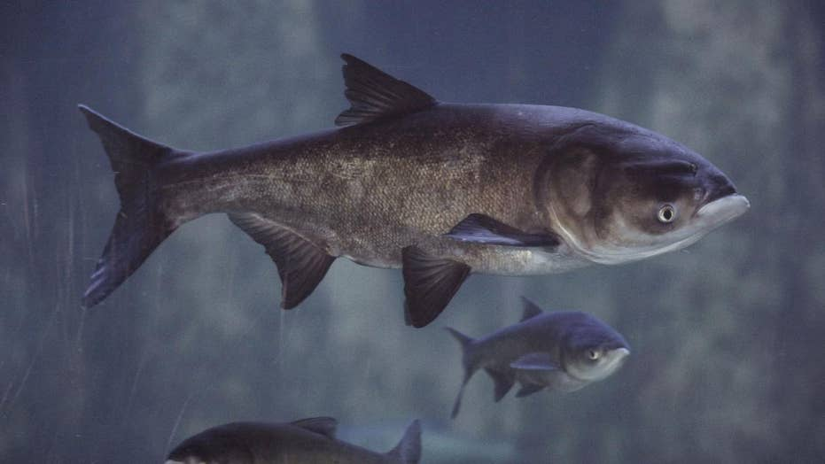 Michigans Asian Carp Challenge Seeks Ideas To Keep Killer Fish Out
