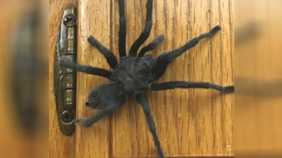 California family discovers a tarantula in the kitchen