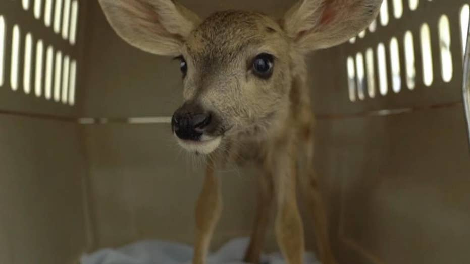 Deer fawn taken from the wild forced into life of captivity