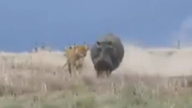 Hunter becomes the hunted as hippo chomps lion's head