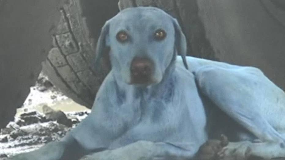 Why are dogs in India turning blue?