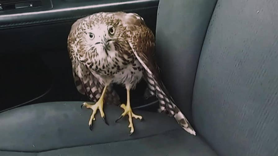 A cab driver in Houston found this large bird hiding from Hurricane Harvey inside his car
